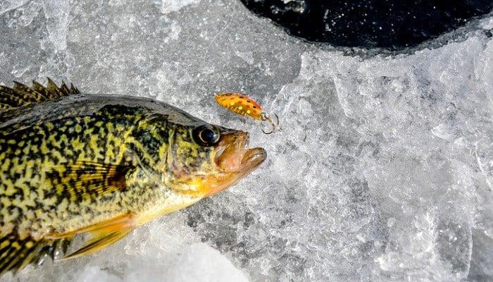 crappie on ice