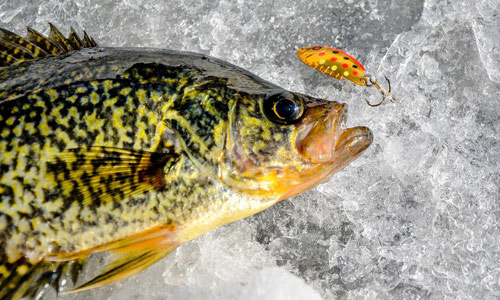 panfish on ice